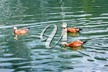 Swimming ducks on the water surface