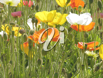 Royalty Free Photo of Blooming Poppies