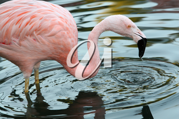 Royalty Free Photo of a Flamingo