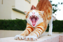 Royalty Free Photo of a Cat Yawning