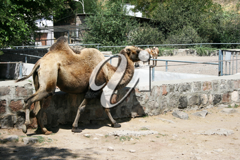 Royalty Free Photo of a Camel in Captivity