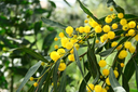 Royalty Free Photo of a Mimosa With Flowers