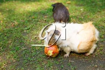 Guinea pigs eating an apple in the garden.