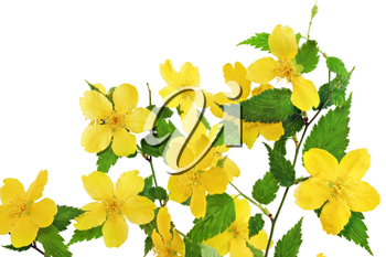 Bouquet Marsh Marigold  Yellow wildflowers in vase isolated on white background .