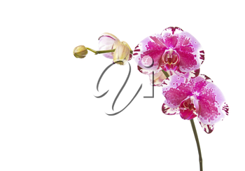 Beautiful orchid in bloom on pure white background