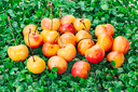 sweet yellow-red cherry on green grass