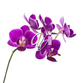 Very Rare Purple Orchid Isolated on White Background. Selective Focus.