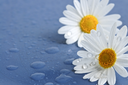 White daisy flowers close up with water drops