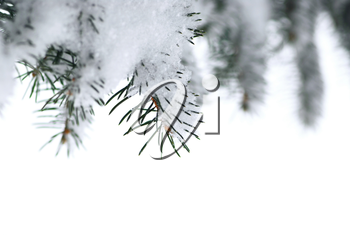 Branches of a winter spruce tree covered with fluffy snow isolated on white background, border for Christmas