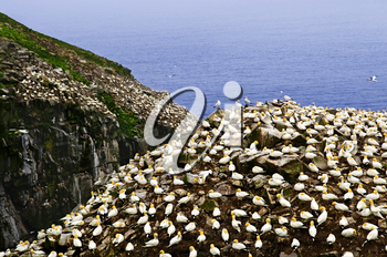 Northern gannets at Cape St. Mary's Ecological Bird Sanctuary in Newfoundland