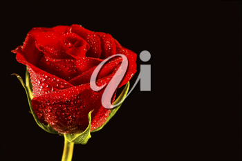 Close-up of fresh red rose with drops
