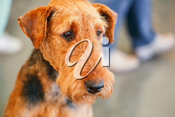 Brown Airedale Terriers dog close up portrait