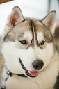 Gray Adult Siberian Husky Dog (Sibirsky husky) close up portrait