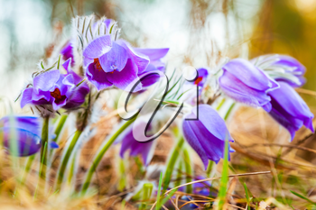 Wild Spring Flowers Pulsatilla Patens. Flowering Plant In Family Ranunculaceae, Native To Europe, Russia, Mongolia, China, Canada And United States.