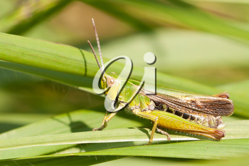 A grasshopper on the grass in Belgium