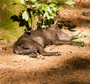 A young wolf in a german zoo