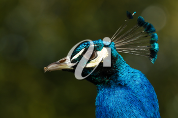 A peacock with sand on its beak