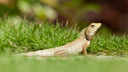 Close up of a lizard in the green grass