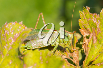 Green grasshoper sitting on the leaf in a garden