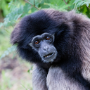 Adult white handed gibbon looking pretty bored