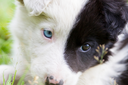 Border Collie puppy on a farm, one blue eye