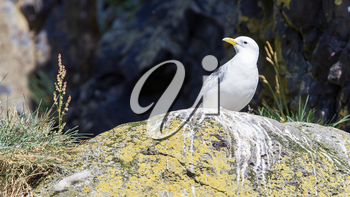 Black-legged kittiwake on Iceland - Natural habitat