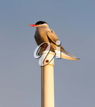 Arctic tern resting - Common bird in Iceland