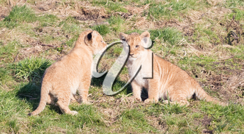 Lion cubs exploring it's surroundings in the winter