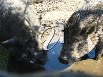 Two greater pigs splashing in a pool