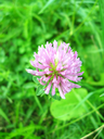 The image of pink flower of clover