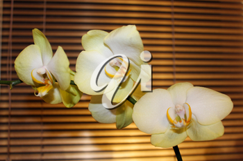 beautiful branch of a blossoming white orchid on the background of jalousie