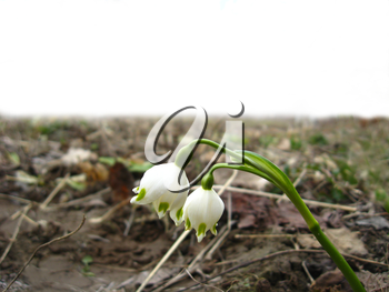 The image of two white snowdrops on one stalk