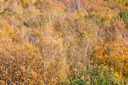 yellow fallen trees in autumn forest landscape
