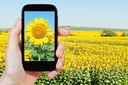 travel concept - tourist taking photo sunflower fileld under blue sky on mobile gadget