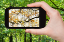 nature concept - tourist photographs picture of change of summer and autumn seasons on smartphone