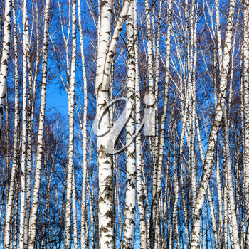white birch trunks and blue sky in sunny winter day