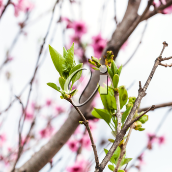 young green leaves of peach tree in cold spring day