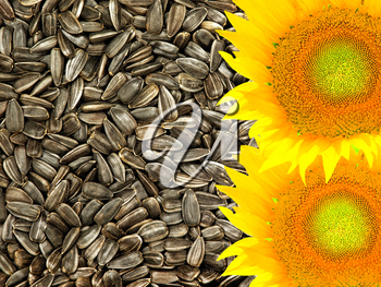 Colorful yellow sunflowers taken closeup on dried black seeds as food background.