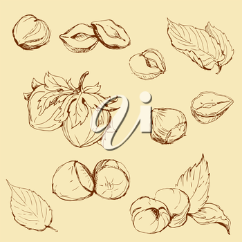Set of highly detailed hand drawn hazelnuts