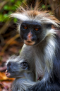 an hairy monkey and her puppy in africa zanzibar jozany forest