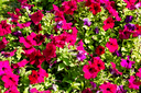in the spring colors oman flowers and garden