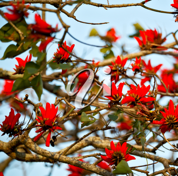 in south africa close up of erythrina lysistemon flower plant and clear sky