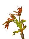 The young spring walnut sprout in the period of rapid growth. Isolated on the white background