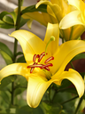 Flowering of yellow lilies on a flowerbed in a lovely sunny day, close-up