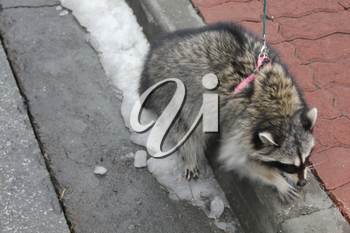 Domestic raccoon for a walk in the winter park 30458