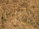 Dry grass in a meadow with a few blades of grass green