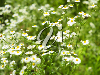 Defocused and blur bushes camomile flowers Matricaria Chamomilla on the lawn, photographed with shallow depth of focus and a blurred background