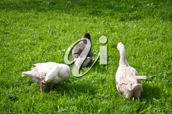 Geese graze in a meadow on a sunny spring day