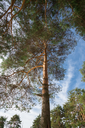 Pine tree in the forest, tree crowns, shooting outdoors