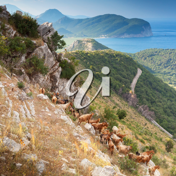Herd of goats in Montenegro mountains on the sea coast
